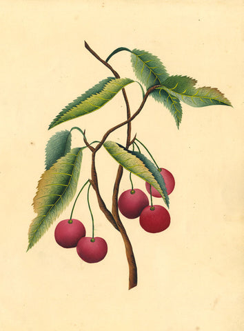 Fanny Atkinson, Cherry Tree Branch - Original 1845 watercolour painting