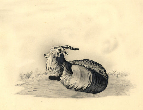 Fanny Atkinson, Long-haired Goat - 1845 grisaille watercolour painting