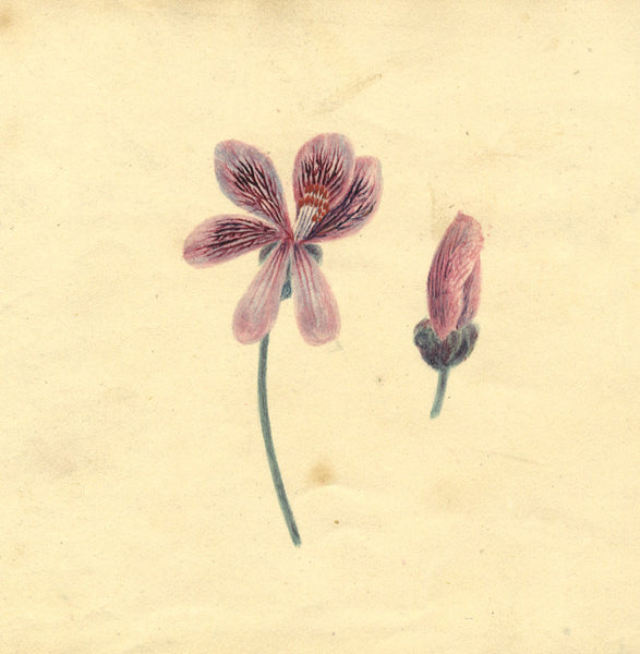 Alexander Dyce, Geranium Flower - Original 1810 watercolour painting