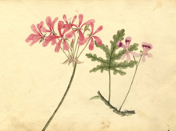 Alexander Dyce, Common Soapwort Flower - Original 1810 watercolour painting