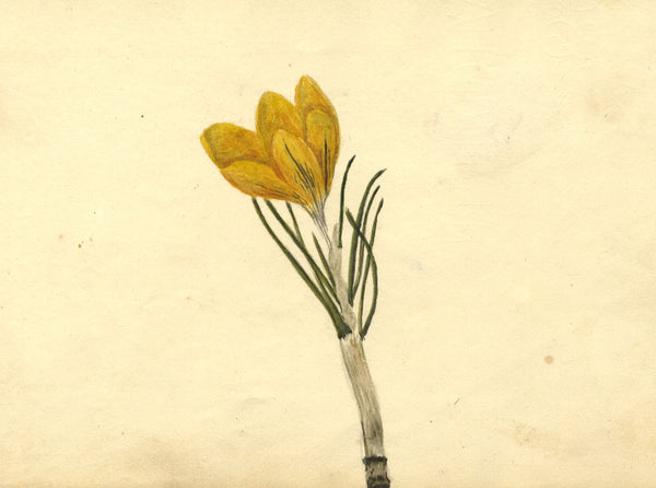 Alexander Dyce, Yellow Crocus Flower - Original 1810 watercolour painting