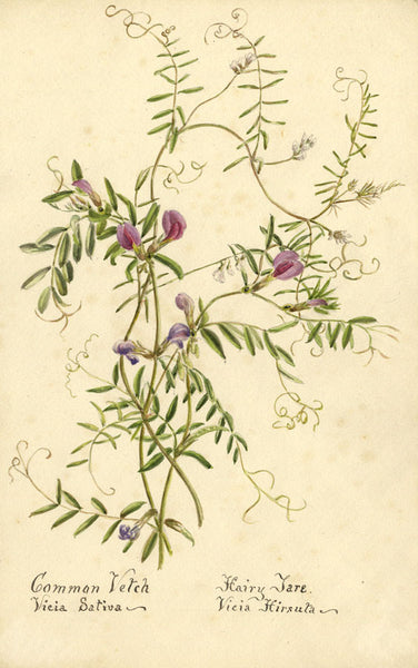 Common Vetch Vicia Sativa & Hairy Tare Flower - 1898 watercolour painting