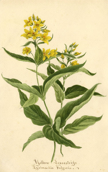 Yellow Loosestrife Lysimachia Vulgaris Flower - 1894 watercolour painting