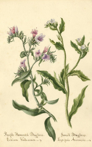 Purple Flowered Bugloss Echium Violaceum Flower - 1894 watercolour painting