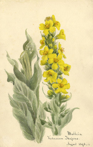 Mullein Verbascum Thapsus Flower - Original 1893 watercolour painting