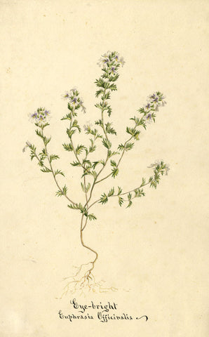 Eye-Bright Euphrasia Officinalis Flower - Original 1896 watercolour painting