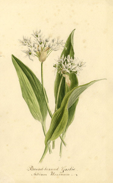 Broad-Leaved Garlic Allium Ursinum Flower - Original 1895 watercolour painting