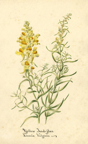 Yellow Toad-Flax Linaria Vulgaris Flower - Original 1896 watercolour painting
