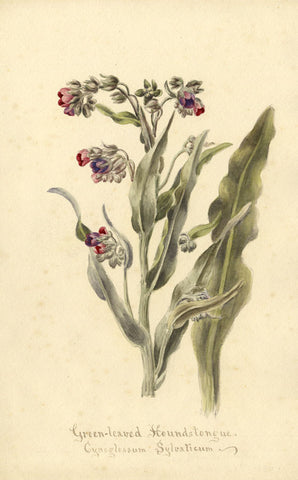 Green-Leaved Houndstongue Cynoglossum Sylvaticum - 1896 watercolour painting