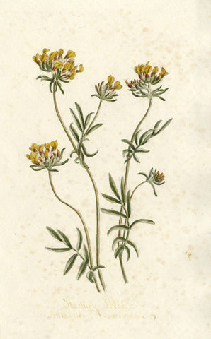 Kidney Vetch Anthyllis Vulneraria Flower - Original 1895 watercolour painting