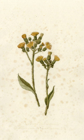 Orange Hawkweed Hieracium Auantiacum Flower - Original 1895 watercolour painting