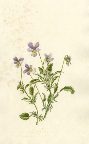 Heartsease Viola Tricolor Flower - Original 1895 watercolour painting