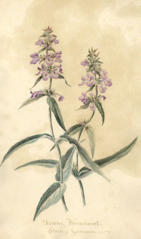 Downy Woundwort Stachys Germanica Flower - Original 1897 watercolour painting