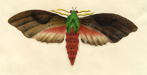 Sphinx Moth - Original early 19th-century watercolour painting
