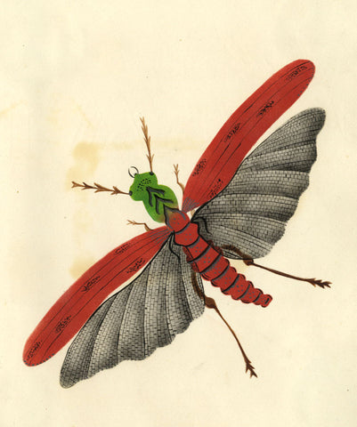 Locust in Flight - Original early 19th-century watercolour painting