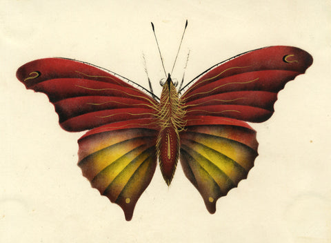 Chinese Butterfly - Original early 19th-century watercolour painting
