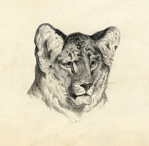Lion Cub Head Portrait - Original late 19th-century pen & ink drawing