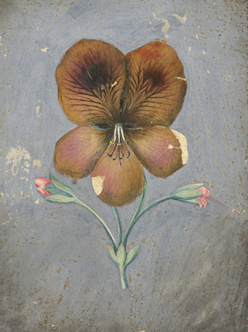 AP Harrison, Purple Pansy Flower - Mid-19th-century pressed flower & watercolour