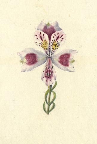 AP Harrison, Pink/ White Iris Flower - Original mid-19th-century watercolour