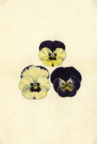 AP Harrison, Purple and White Pansy Flowers - Original 19th-century watercolour