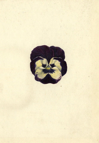 AP Harrison, Purple and White Pansy Flower - Original 19th-century watercolour