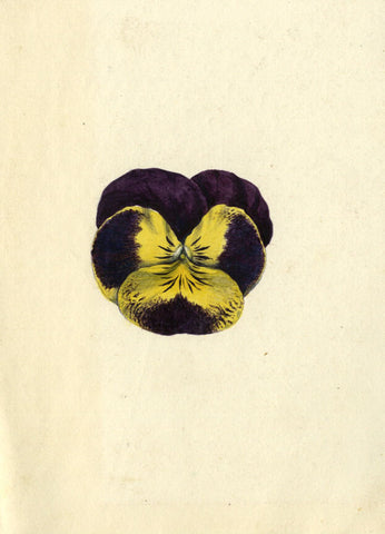 AP Harrison, Purple and Yellow Pansy Flower - Original 19th-century watercolour
