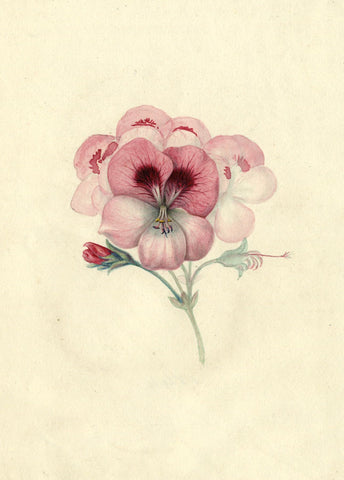 AP Harrison, Pink Pansy Flowers - Original mid-19th-century watercolour painting