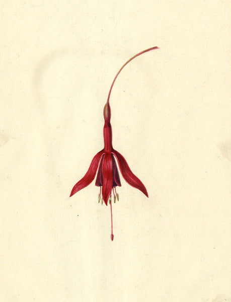AP Harrison, Red Flower of a Fuchsia - Original mid-19th-century watercolour