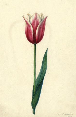 AP Harrison, Pink and White Tulip Flower - Original mid-19th-century watercolour