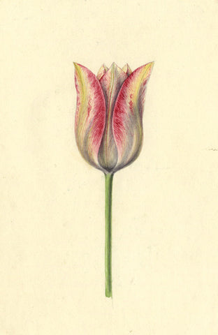AP Harrison, Pink and Yellow Tulip Flower - Original 19th-century watercolour