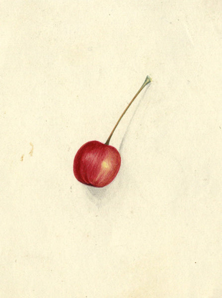 AP Harrison, Red Cherry - Original mid-19th-century watercolour painting