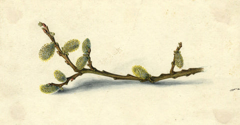 AP Harrison, Willow Stem with Catkins - Original mid-19th-century watercolour