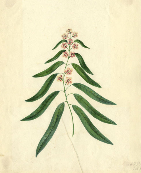 AP Harrison, Pink Flowers of the Myrtle - Original mid-19th-century watercolour