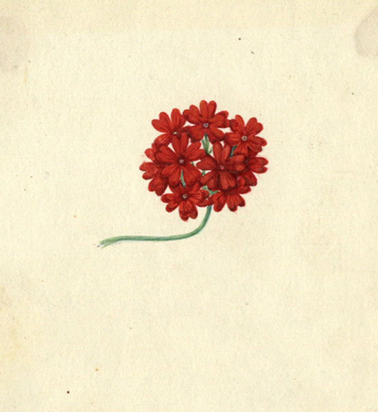 AP Harrison, Red Cinquefoil Flowers - Original 19th-century watercolour painting