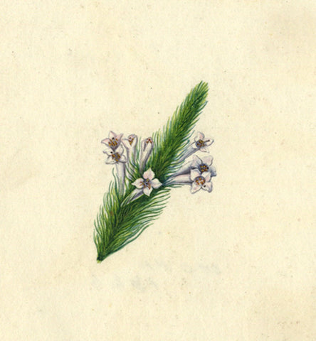 AP Harrison, White Quatrefoil Flowers - Original mid-19th-century watercolour