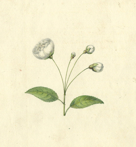 AP Harrison, White Camellia Flowers - Original 19th-century watercolour painting
