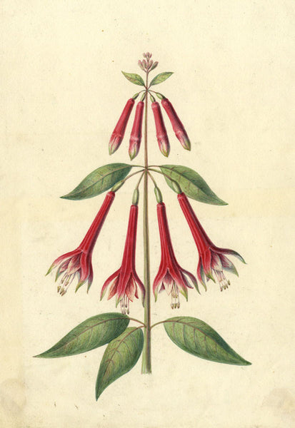 AP Harrison, Cascade of Pink Fuchsia Flowers - Original 19th-century watercolour