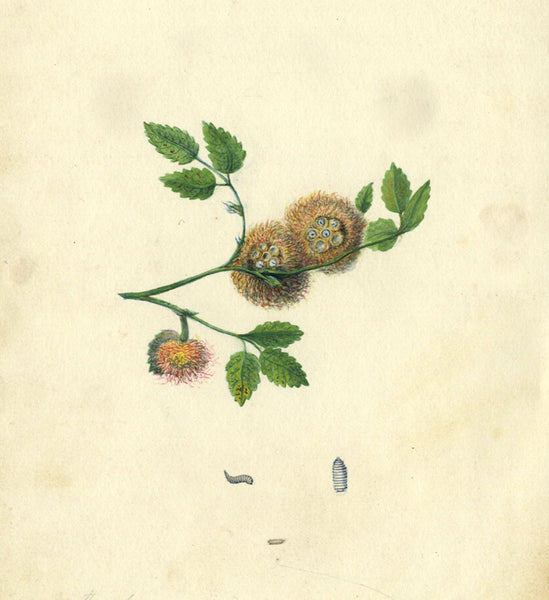 AP Harrison, Rose Galls - Original mid-19th-century watercolour painting