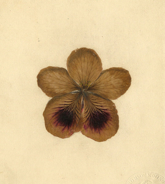 AP Harrison, Mauve Pansy Flower -Mid-19th-century pressed flower & watercolour