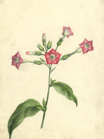 AP Harrison, Red Gillyflowers - Original mid-19th-century watercolour painting
