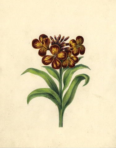 AP Harrison, Purple/ Yellow Quatrefoil Flowers - mid-19th-century watercolour