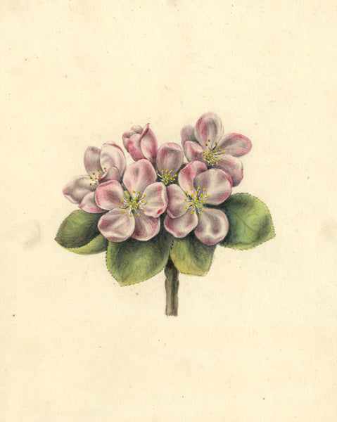 AP Harrison, Pink Cinquefoil Flowers - Original mid-19th-century watercolour