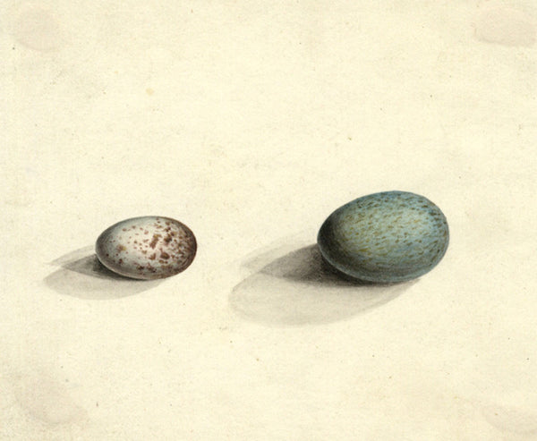 Arthur Prichard Harrison, Herring Gull's Eggs - Original mid-19th-century watercolour painting