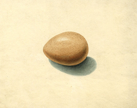 Arthur Prichard Harrison, Herring Gull's Egg - Original mid-19th-century watercolour painting