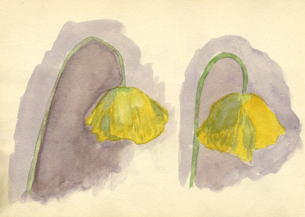 Pickford Robert Waller, Yellow Poppy Flowers -Original 1897 watercolour painting
