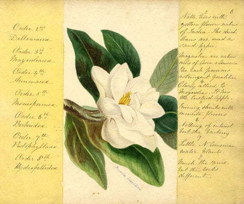 Helen Gifford, Magnolia Flower - Original mid-19th-century watercolour painting