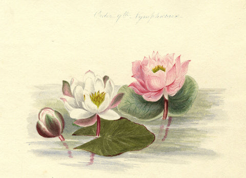 Helen Gifford, Waterlily Flowers - Original mid-19th-century watercolour