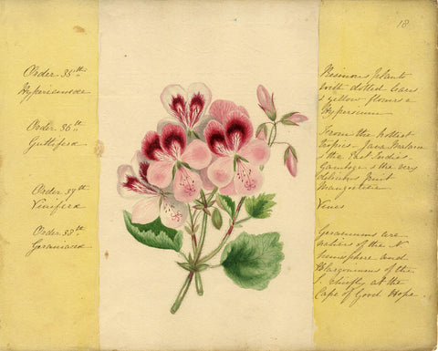 Helen Gifford, Geranium Flowers - Original mid-19th-century watercolour painting
