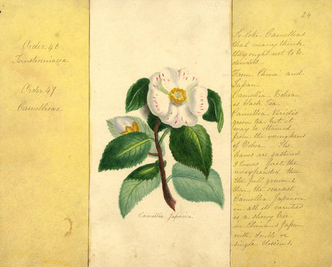 Helen Gifford, Camellia Flower - Original mid-19th-century watercolour painting
