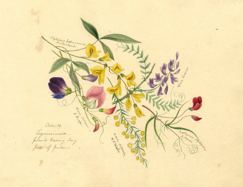 Helen Gifford, Pulse-bearing Plant Flowers - Original 19th-century watercolour